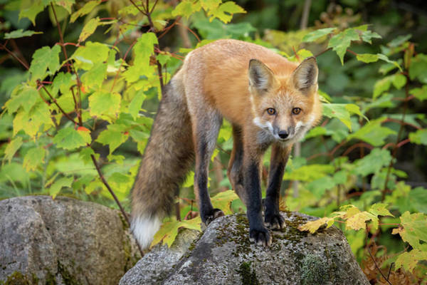 Photograph - Autumn Fox II by Colin Chase