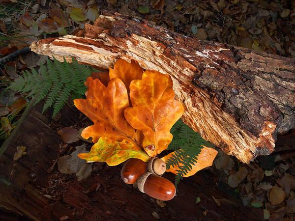 Photograph - Autumn Gold Oak Leaves And Acorns by Gill Billington