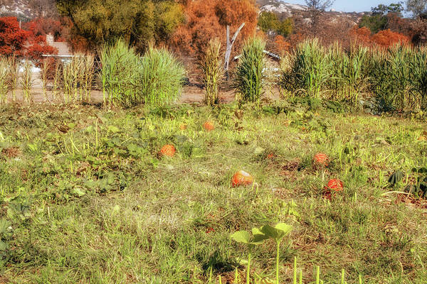 Photograph - Autumn In The Pumpkin Patch by Alison Frank