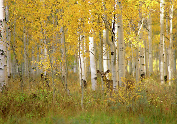 No One Wall Art - Photograph - Autumn In Uinta National Forest. A Deer by Mint Images - David Schultz