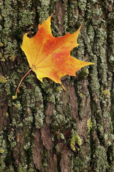 Orange Lichen Photograph - Autumn Leaf Of A Maple On The Bark by Agenturfotograf