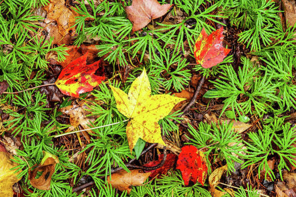 Wall Art - Photograph - Autumn Leaves And Cedar by Dan Carmichael