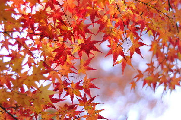 Photograph - Autumn Leaves by Myu-myu