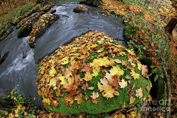 Wall Art - Photograph - Autumn Maple Leaves On A Boulder In A Creek by Michal Boubin