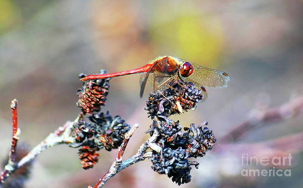 Photograph - Autumn Meadowhawk by Patti Whitten