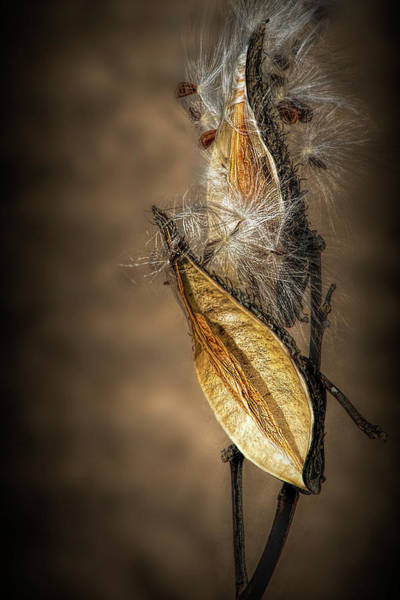 Photograph - Autumn Milkweed Pods And Seeds by Randall Nyhof