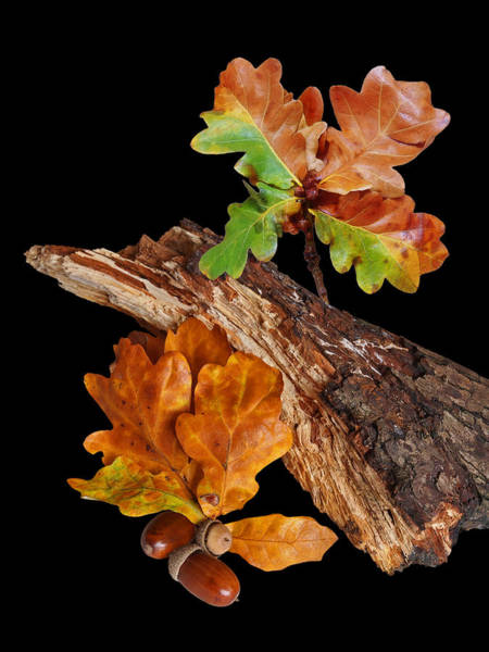 Photograph - Autumn Oak Leaves And Acorns On Black by Gill Billington