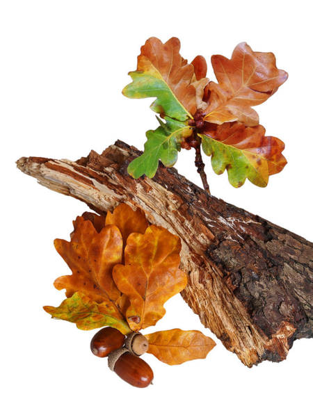 Photograph - Autumn Oak Leaves And Acorns On White by Gill Billington