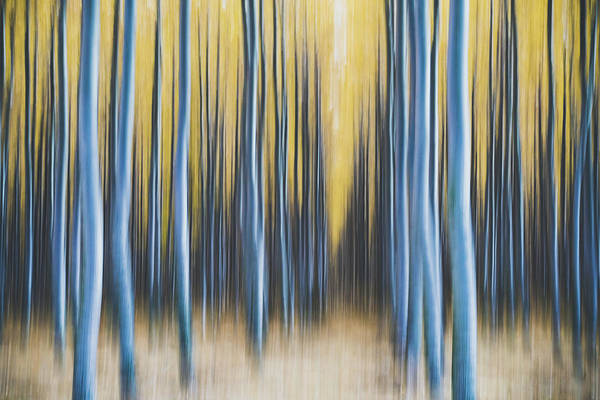 Photograph - Autumn Poplars by Nicole Young