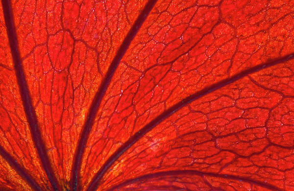 Wall Art - Photograph - Autumn Red Leaf Design Backlit by Darrell Gulin