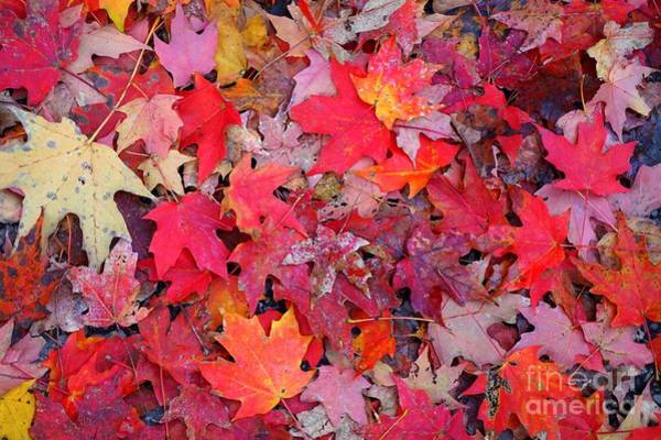 Photograph - Autumn Red Leaves by Christopher Shellhammer