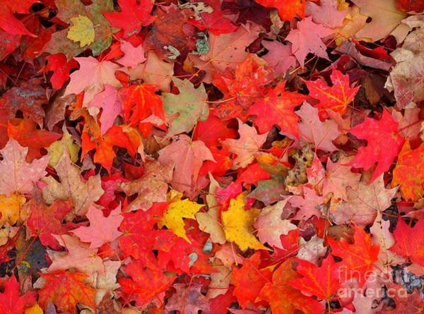 Photograph - Autumn Red Orange And Yellow Leaves by Christopher Shellhammer