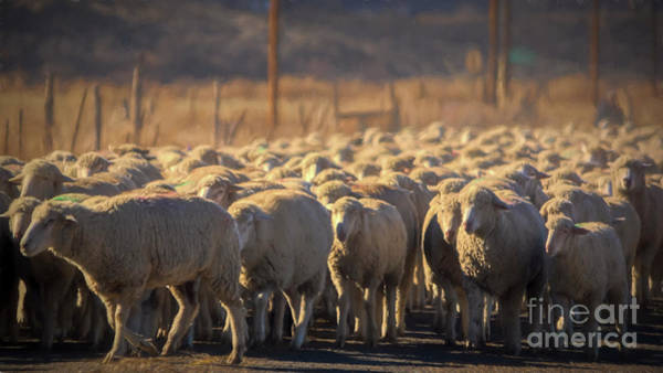 Photograph - Autumn Sheep by Janice Pariza