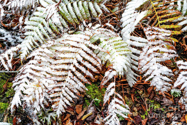 Photograph - Autumn Snow Fern by Thomas R Fletcher