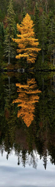 Photograph - Autumn Tamarack  by Doug Gibbons