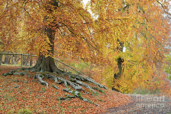 Photograph - Autumnal Beech Walk by Tim Gainey