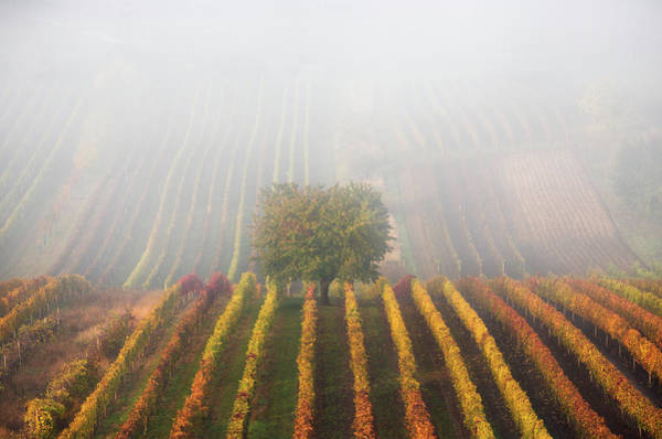 Photograph - Autumnal Tree In  Fog by Vlad Sokolovsky