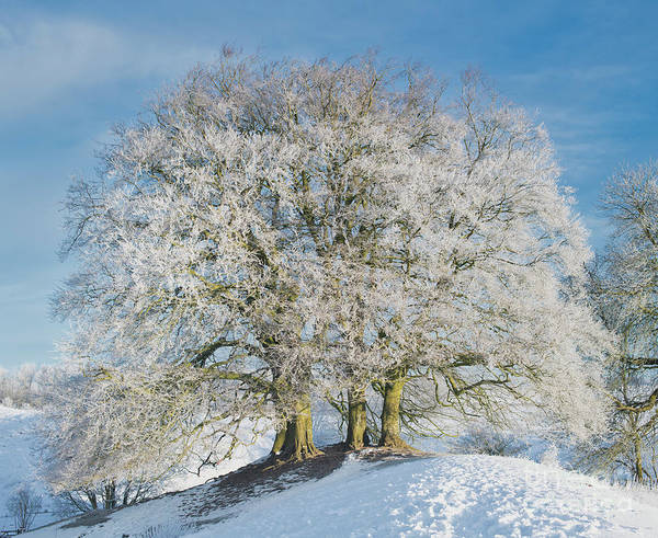 Photograph - Avebury Beeches by Tim Gainey