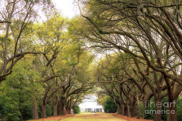 Photograph - Avenue Of Oaks At Charles Towne Landing by John Rizzuto