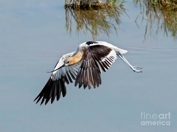 Wall Art - Photograph - Avocet Flight by Mike Dawson