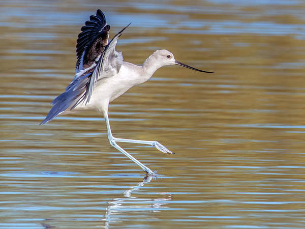 Photograph - Avocet Landing 3558-112317-1cr by Tam Ryan