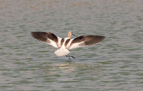 Photograph - Avocet Landing by Loree Johnson