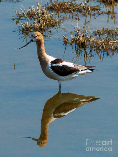 Wall Art - Photograph - Avocet Mirrored by Mike Dawson