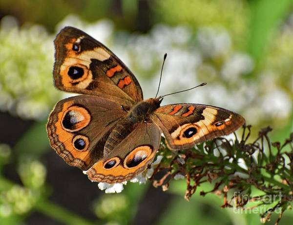 Wall Art - Photograph - Awesome Beauty - Common Buckeye by Cindy Treger