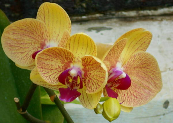 Photograph - Awesome Orchid by Barbara Keith