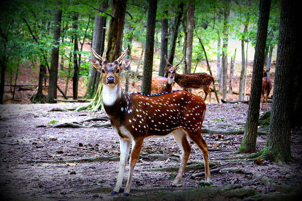 Photograph -  Axis Deer by Cynthia Guinn