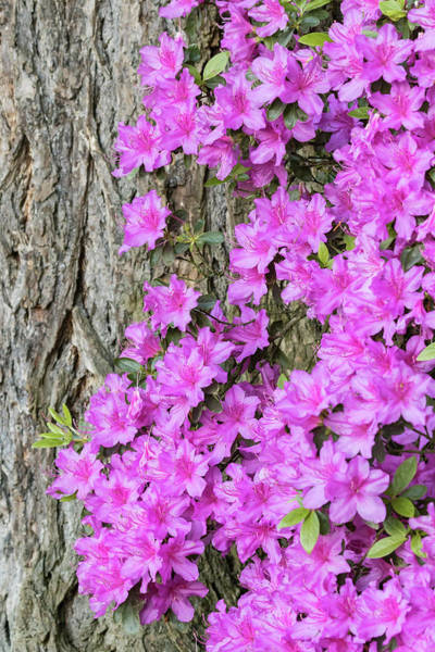 Wall Art - Photograph - Azalea Blooms by William Sutton