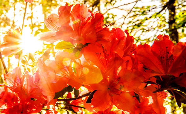 Photograph - Azalea Sunrise by John Harding