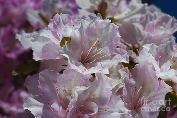 Photograph - Azaleas Always Delight by Joy Watson
