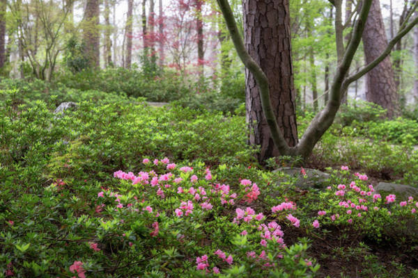 Wall Art - Photograph - Azaleas In Pink by James Barber