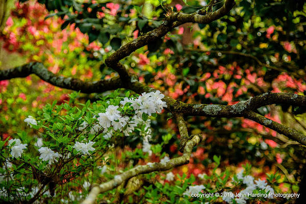 Photograph - Azaleas Under A Dogwood Tree by John Harding