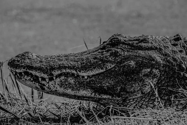 Photograph - B And W Gator by Kevin Banker