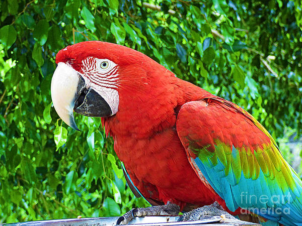 Capable Photograph - Beautiful Red Macaw. by Trudee Hunter