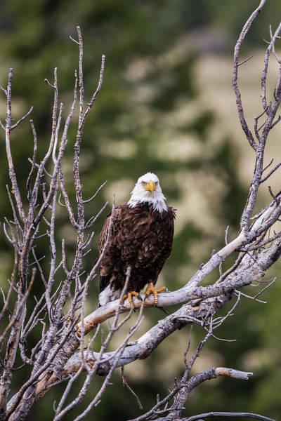 Photograph - B13 by Joshua Able's Wildlife