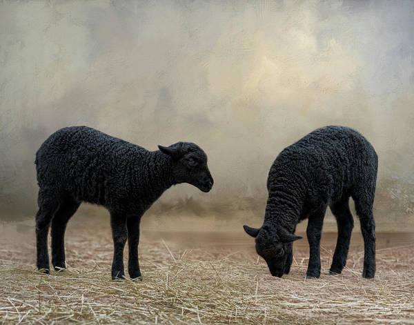 Photograph - Baa, Baa Black Sheep by Kelley Parker