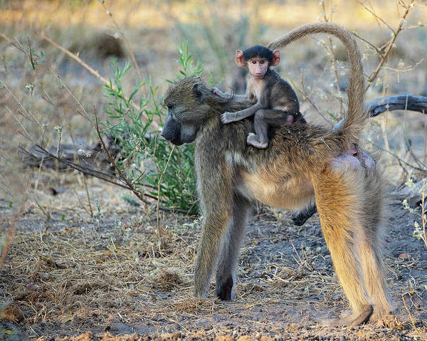 Photograph - Baboon And Baby by John Rodrigues