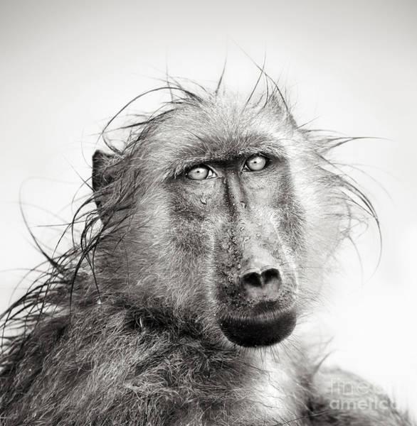 B Wall Art - Photograph - Baboon In Rain Artistic Processing by Johan Swanepoel