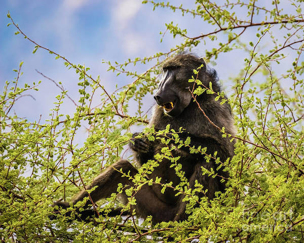 Photograph - Baboon, Namibia by Lyl Dil Creations