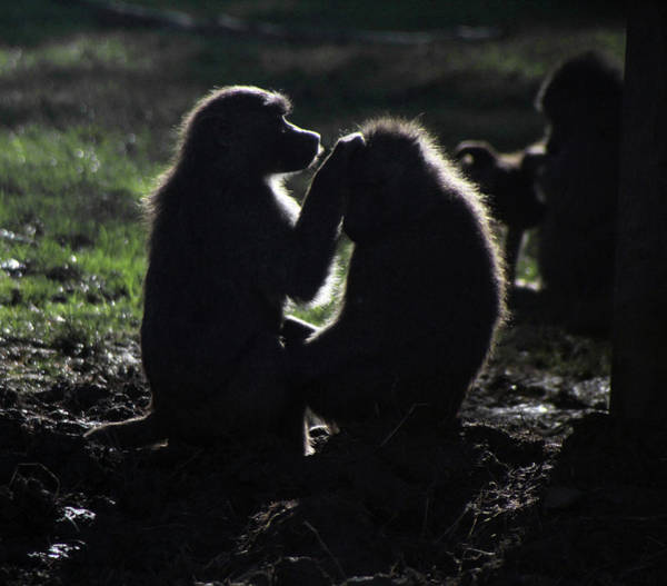 Photograph - Baboons In Silhouette by Doc Braham