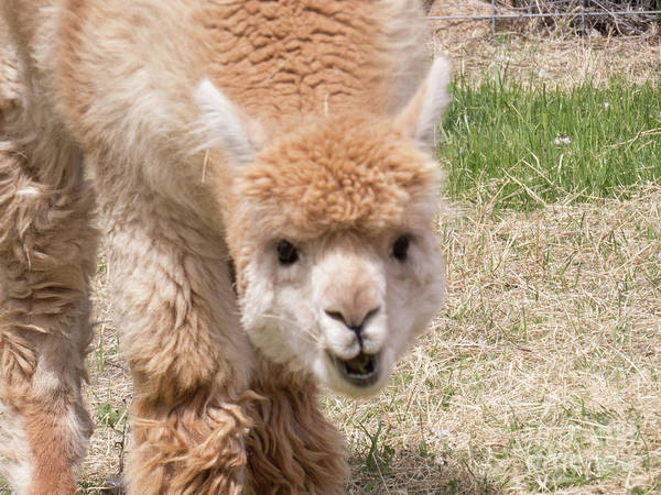 Photograph - Baby Alpaca Face by Christy Garavetto