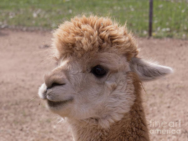 Photograph - Baby Alpaca With A Sweet Face by Christy Garavetto