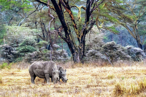 Wall Art - Photograph - Baby And Parent White Rhino In Lake Nakuru by Susan Schmitz