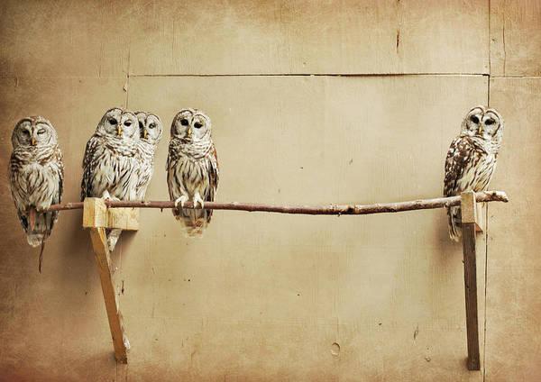 Bar Photograph - Baby Barred Owls by Tara Reifenheiser