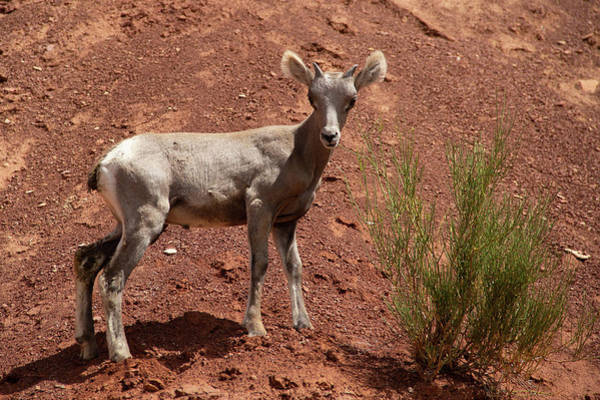 Photograph - Baby Bighorn 2 by Marie Leslie