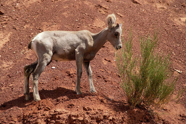 Photograph - Baby Bighorn by Marie Leslie