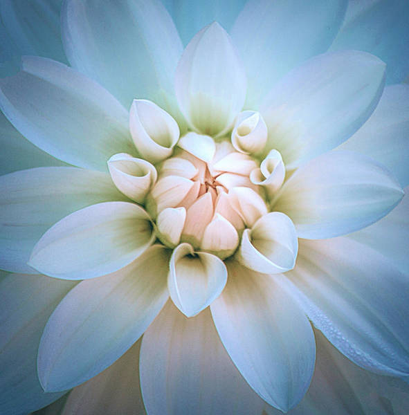 Photograph - Baby Blue And Pink Dahlia by Julie Palencia